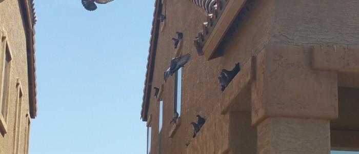 Maricopa Pigeon Control