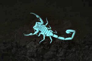 Arizona bark scorpion Centruroides sculpturatus glowing under ultraviolet light.